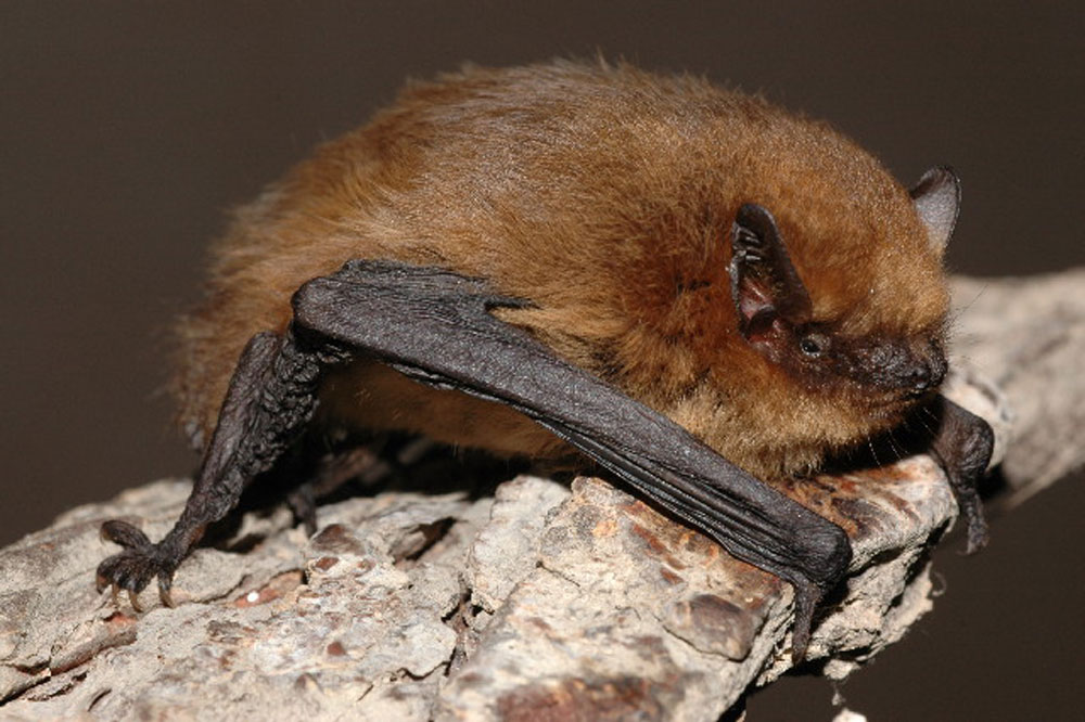 A pipistrelle bat - the same kind that bit Victoria