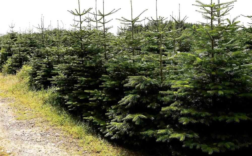 "ONE of the largest Christmas tree farms in Scotland has had £500,000 chopped from its price after failing to sell for £3.2m. The 250-acre site in Nairn has an astonishing 620,000 trees - more than 125,000 of which are due to be harvested for this year's festive season. But despite high demand for real Christmas trees - which fetch up to £70 each - the selling price has been cut to £2.7m. Maviston Farm grows Nordmann fir trees, described as the Rolls Royce of Christmas trees because of their ""fantastic"" shape, colour and texture. Previously an old farm, the land - ten times the area of Waverley Station, Edinburgh - was converted into a Christmas tree business eight years ago."