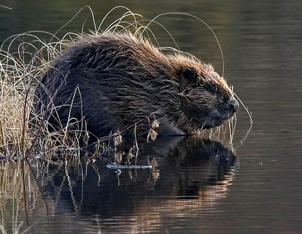 A beaver in Tayside