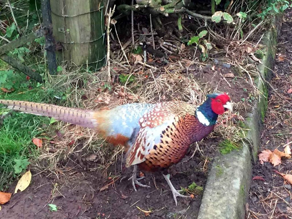 "A FEROCIOUS, ""growling"" pheasant has been  attacking passers-by in a Scottish village. The bolshie  bird runs up to pedestrians in Balfron, Stirlingshire, and pecks away at their shoes. One walker said he had to be ""saved"" by a local builder armed with a piece of wood. The fearless pheasant has been attacking people for months and has become such a feature in the area it has even been given a name -  Archie. Pheasants are normally shy creatures and, with the official shooting season starting next month, have more reason than ever to keep their heads down. But a recent video shows Archie harrassing a visiting walker by pecking at his shoes and trousers while making a strange growling noise.  Andrew Campbell, of Bishopbriggs,  East Dunbartonshire, described his encounter with Archie on the outskirts of the village next to a farm."