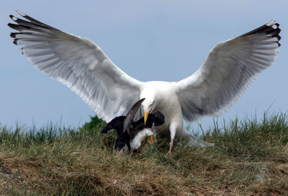 200 gulls shot dead this year after city decides on lethal crackdown