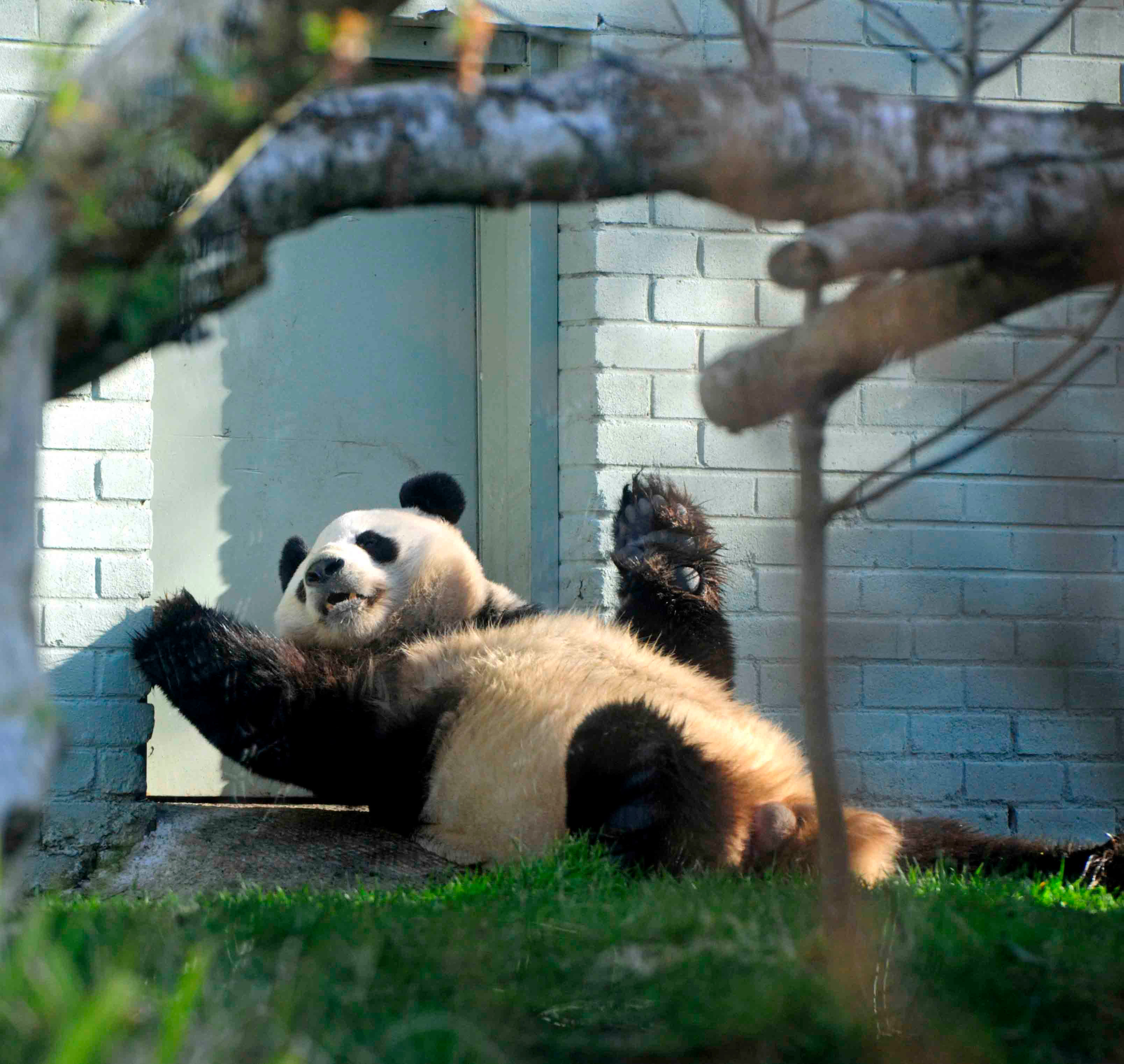 Giant Panda in Edinburgh Zoo possibly expecting a baby