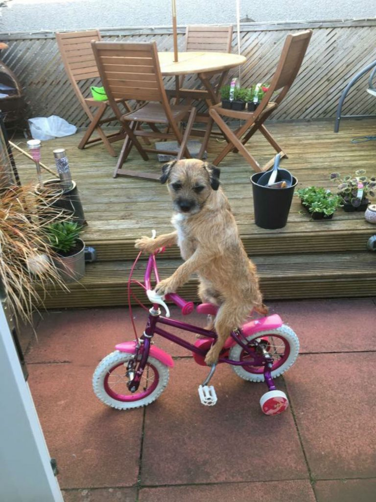 Adorable snap shows Murray the border terrier riding bike ...