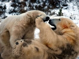 UK's first polar bear playing in the snow with his mum