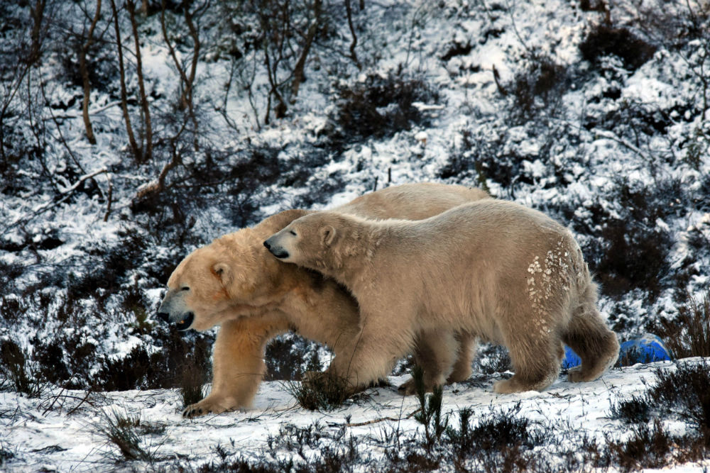 UK's first polar bear play fighting in the snow with his mum
