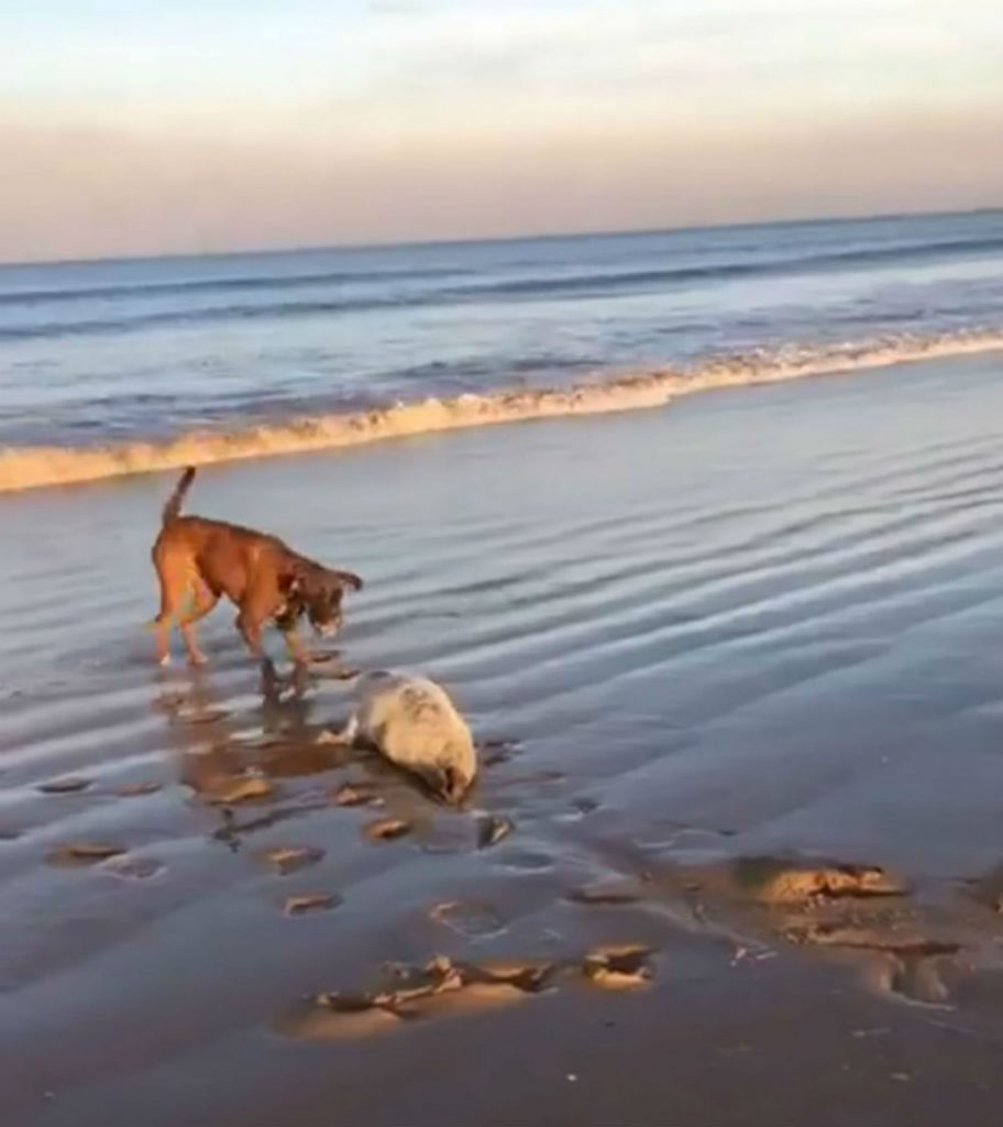 Moment seal pup forced to fight for life after it is attacked on beach by out-of-control dog