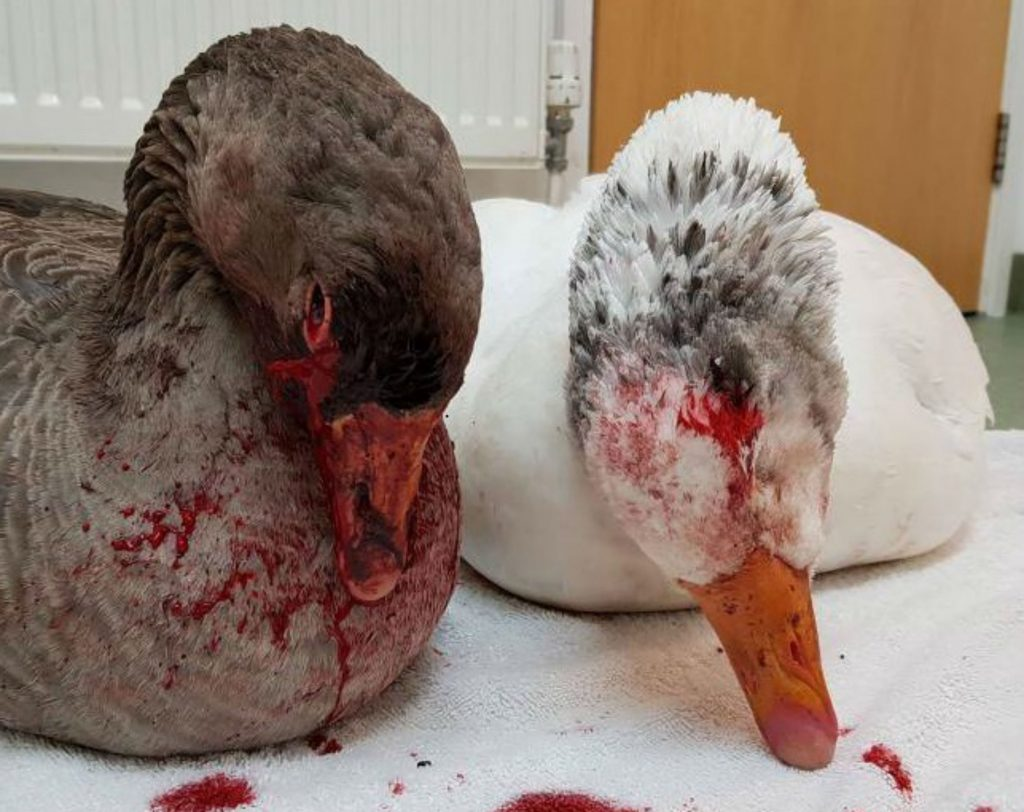 ANIMAL rescuers fear a sadist armed with a crossbow shot a goose and then pulled the bolt out to fire again.The birds were rescued and are being cared for at a wildlife hospital, where a vet filmed a short clip showing the victims of the attack, sitting limp on towels.