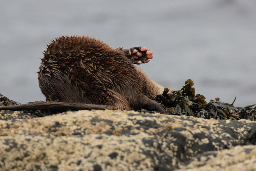 A playful otter rolls on its side on a rocky Scottish headland, with the pink pads of its paw in the air. Image captured during a wildlife photo workshop in the Scottish Highlands