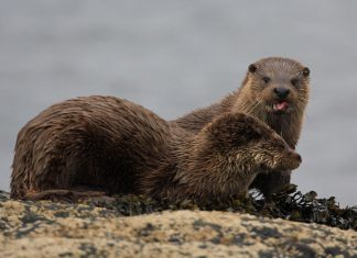 Photos of otters captured during wildlife photo safari in the Scottish Highlands