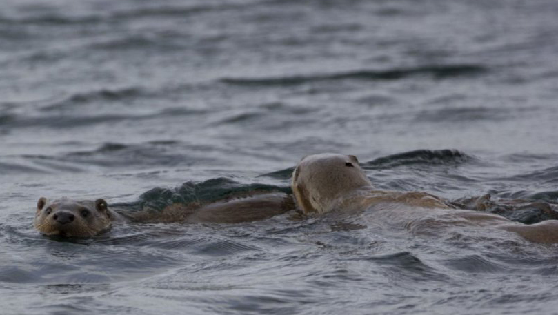 Otters Swimming in the sea off the Scottish Highlands