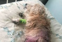 Ruby the dog covered in wounds from her attack