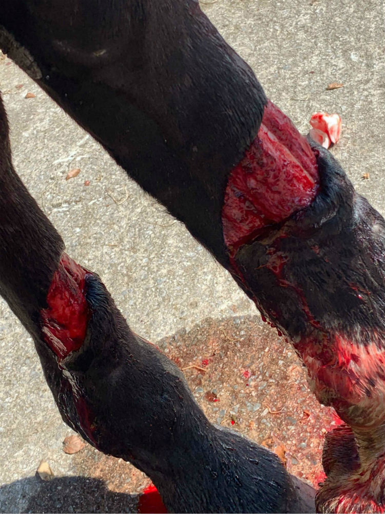 Horse cut leg