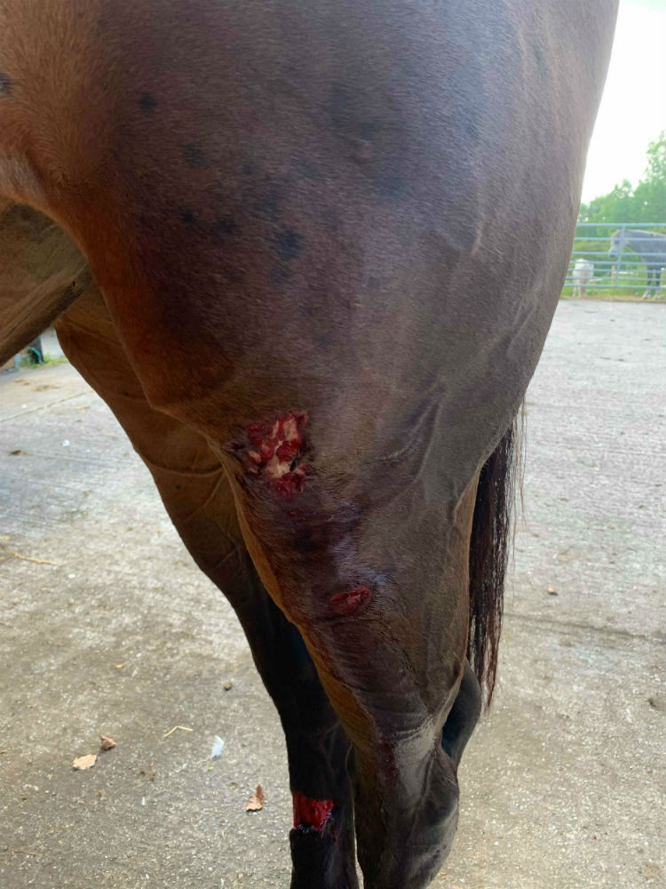 Horse with graze