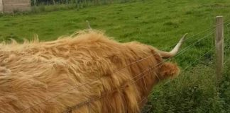 cow back scratching with a fence