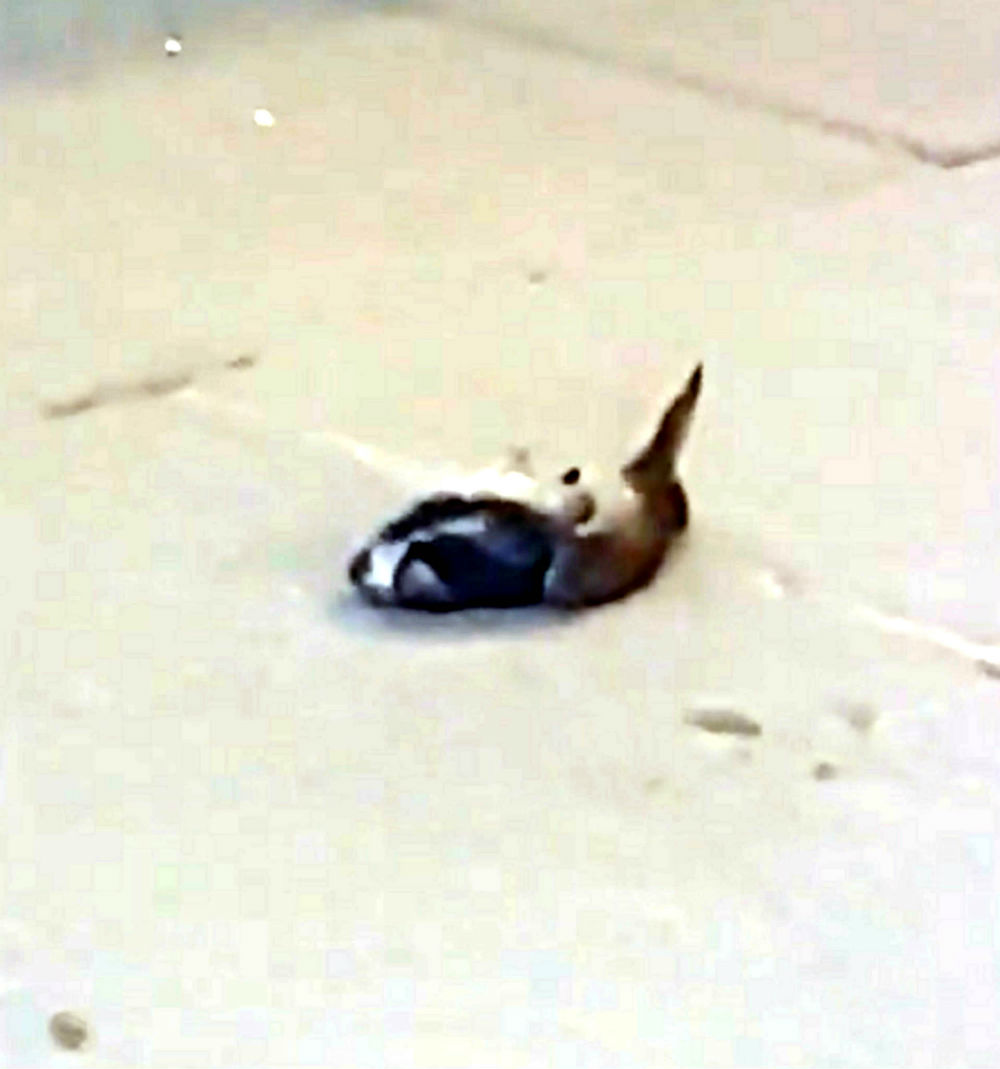 dead pigeon used as weapon