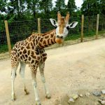 Twycross Zoo - Setanta the giraffe being nosey - pic by Nicky Judd TZ