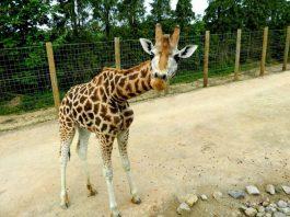 Twycross Zoo - Setanta the giraffe being nosey - pic by Nicky Judd TZ