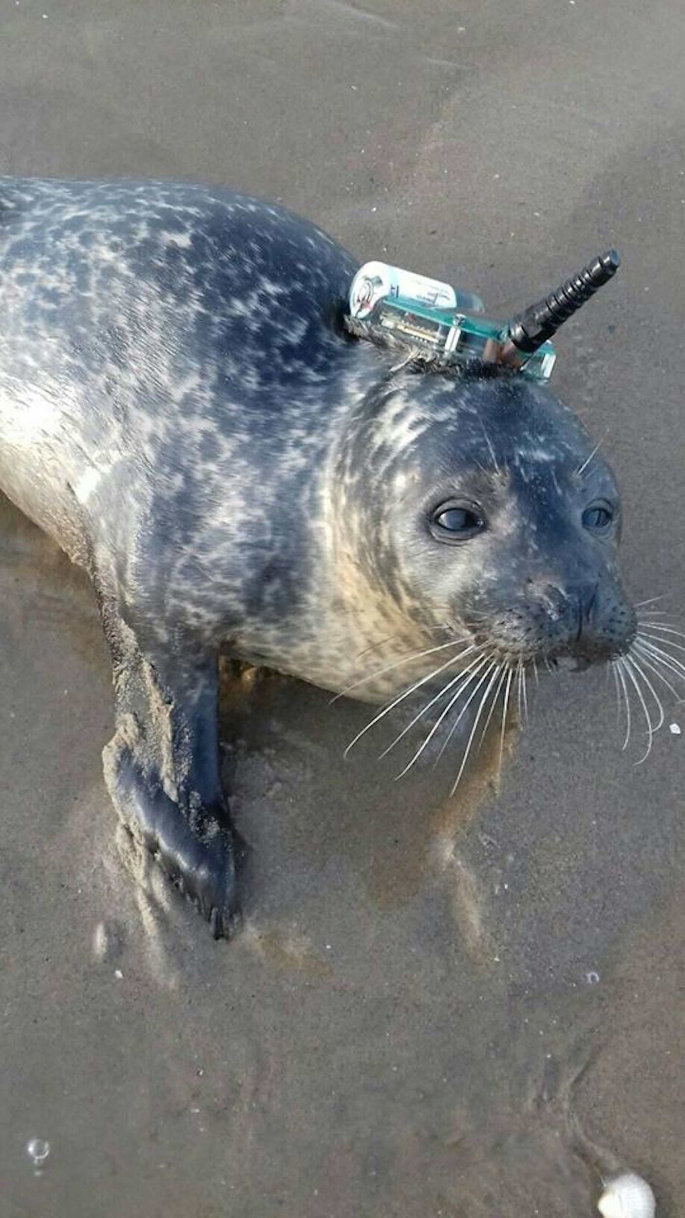 Scientist Threatened With 9mm Bullet Between Eyes After Seal Found Lost On Beach With Tracking Device Attached To Neck Deadline News