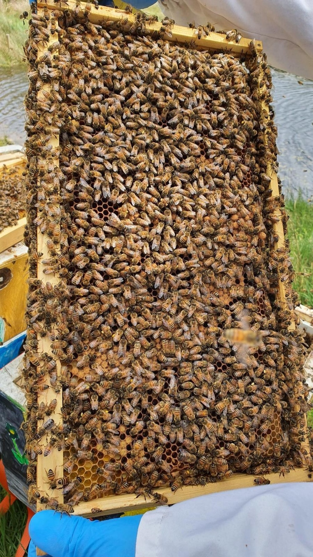 Picture of bees in a hive