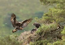 Eagle nest in Cairngorms