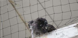 TEsco branded pigeon murderers after birds die in netting