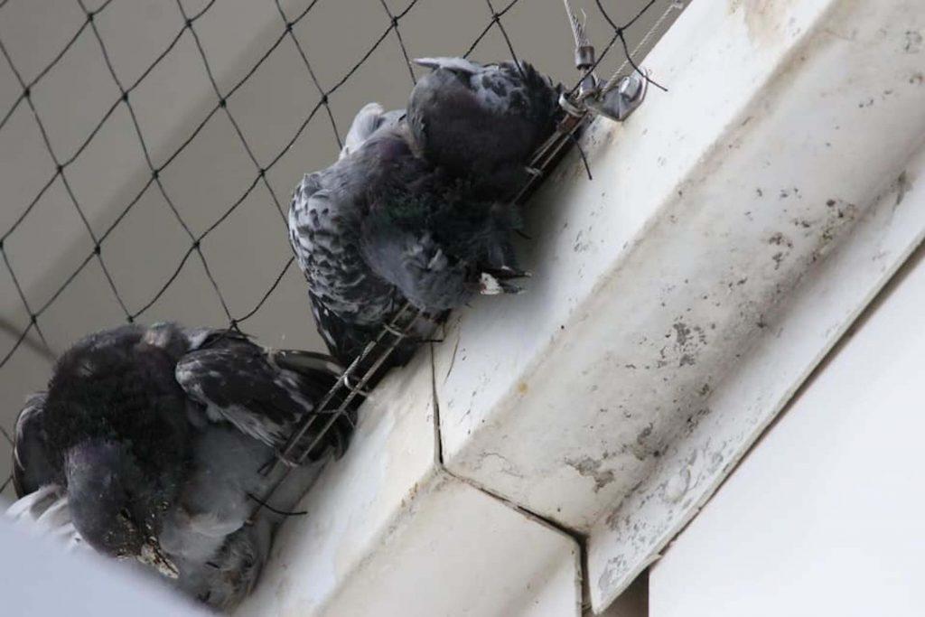 TEsco branded pigeon murderers after birds die in netting