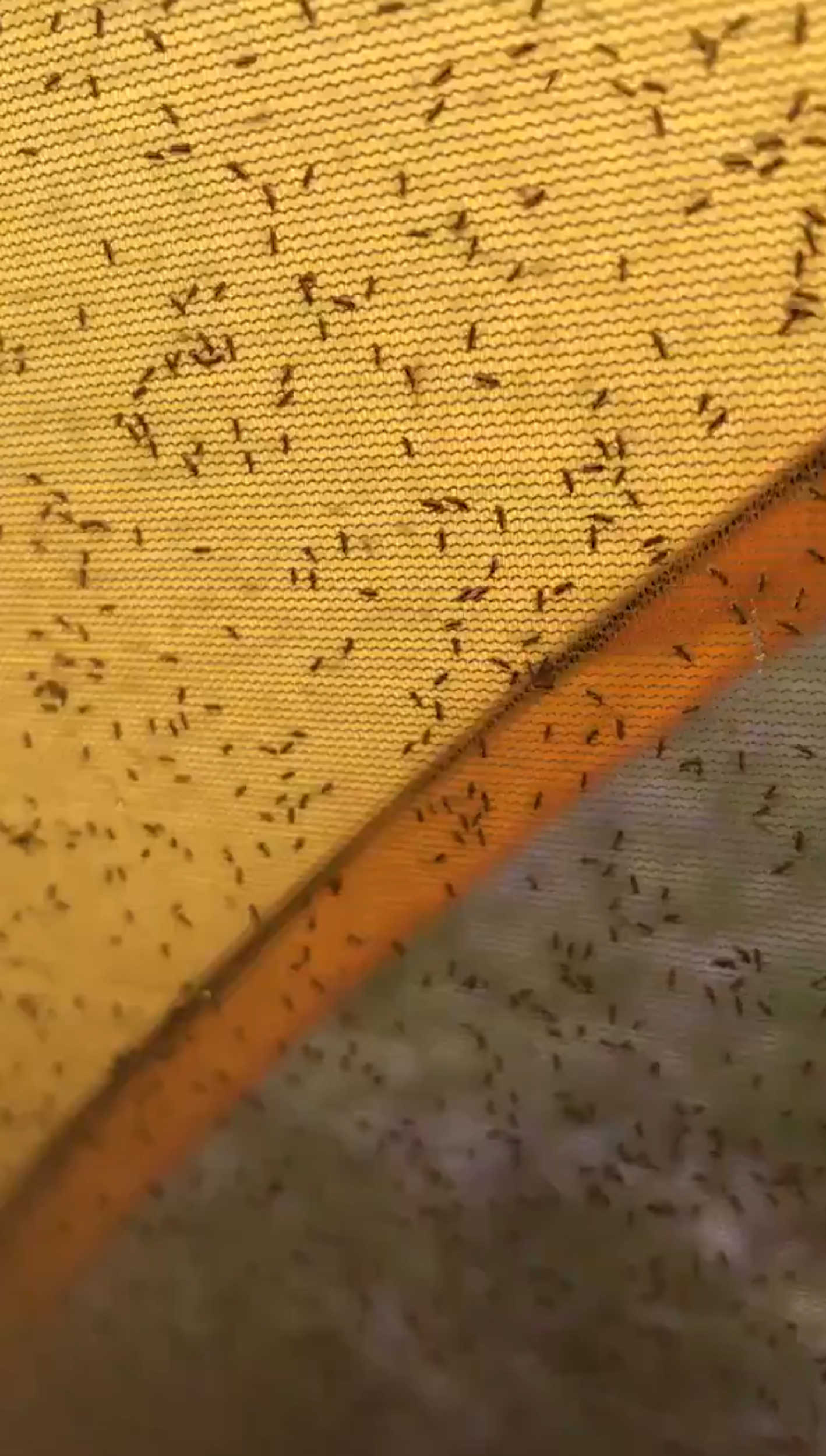 Clouds of midges can be seen trying to push through the mesh | By Deadline News- Scottish News