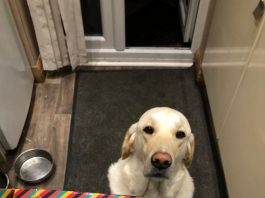 """Labrador who chewed up his owner's welcome pack made """"honourary student"""""""