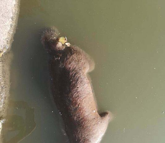 Dead fox in lake