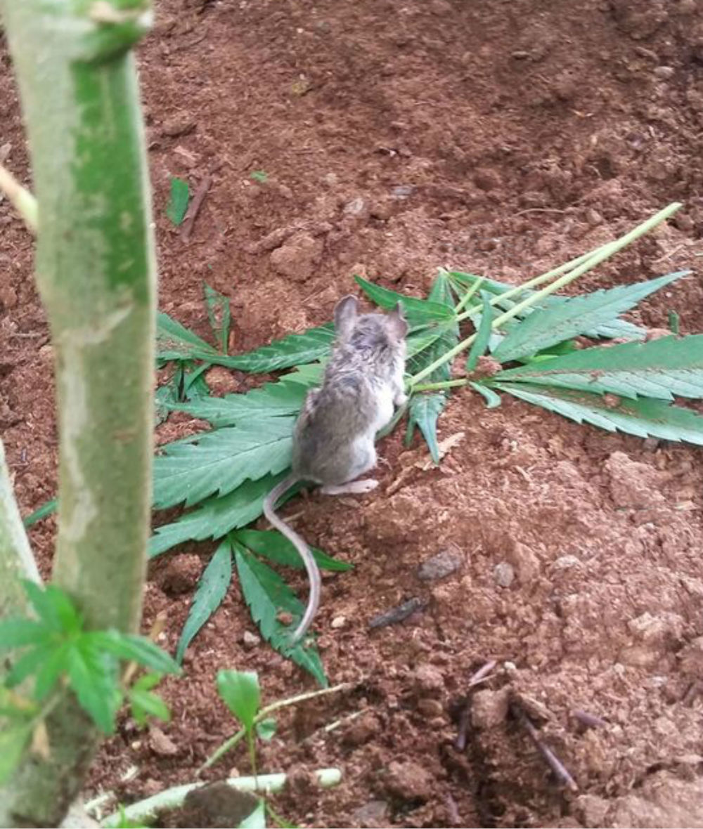 Mouse on cannabis plant