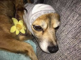 Sock used to cover dogs head goes viral as hack to prevent bonfire night anxiety