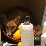 A fox behind a fruit bowl