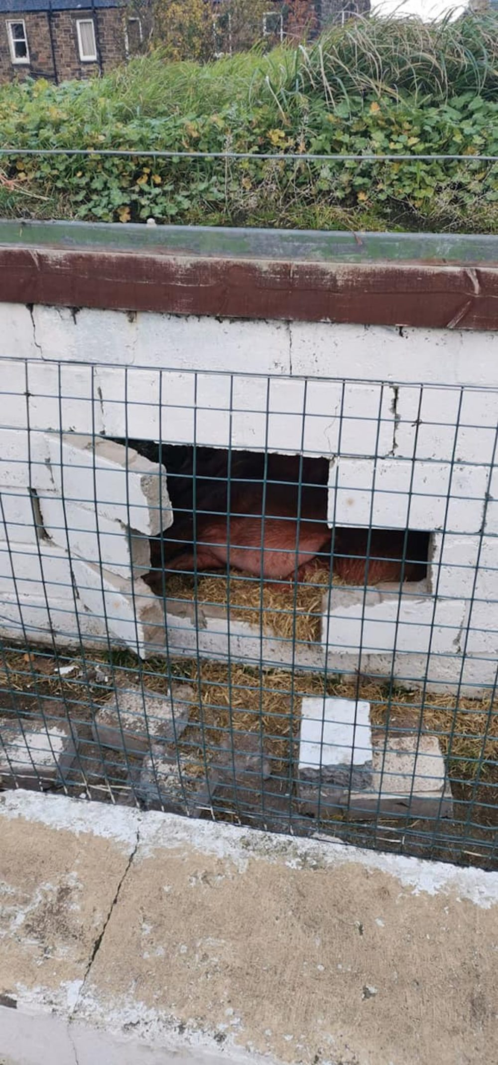 A hole in a wall with pigs - Scottish News