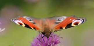 An image of a butterfly- Nature News Scotland