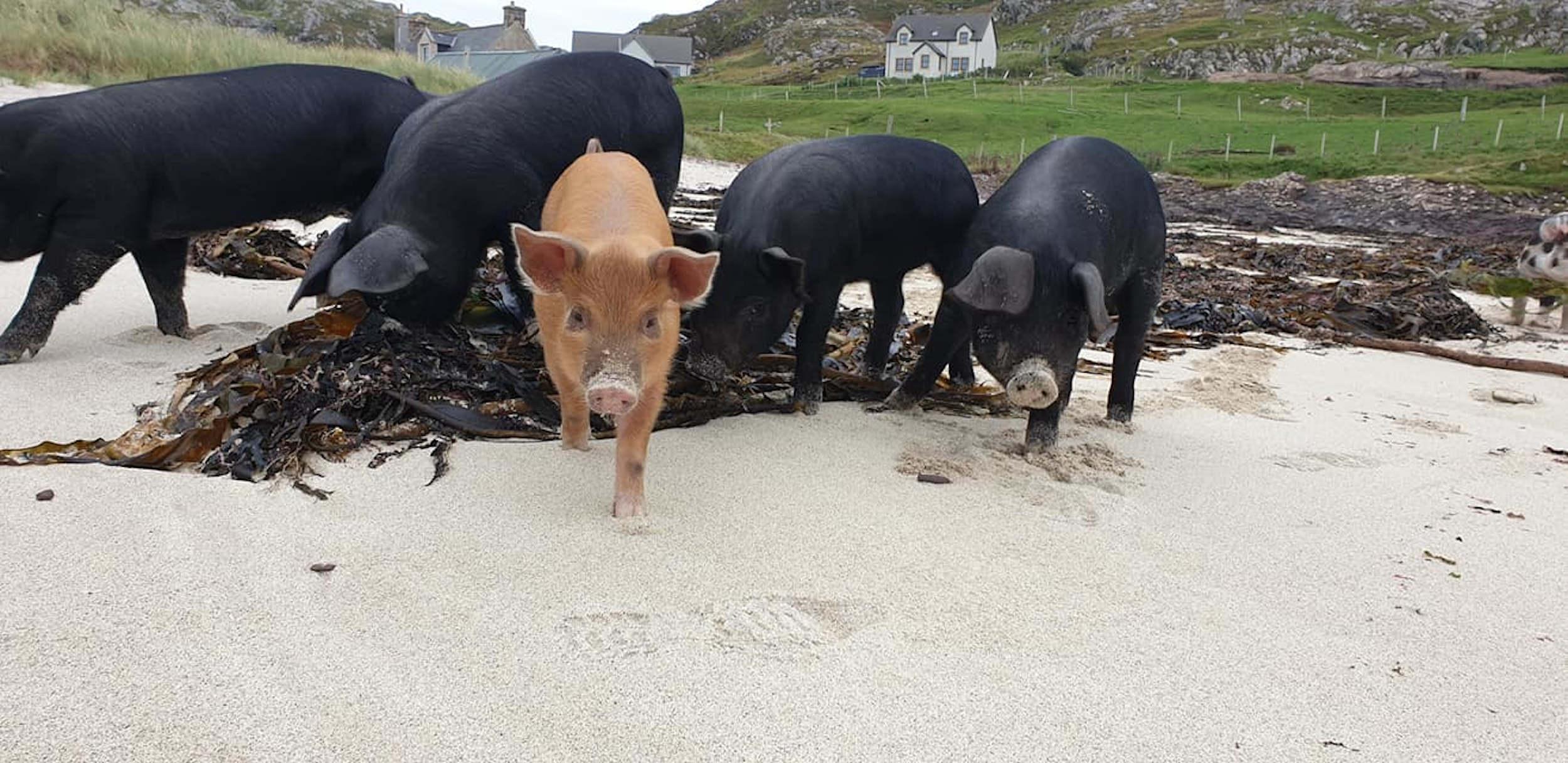 Pigs on beach