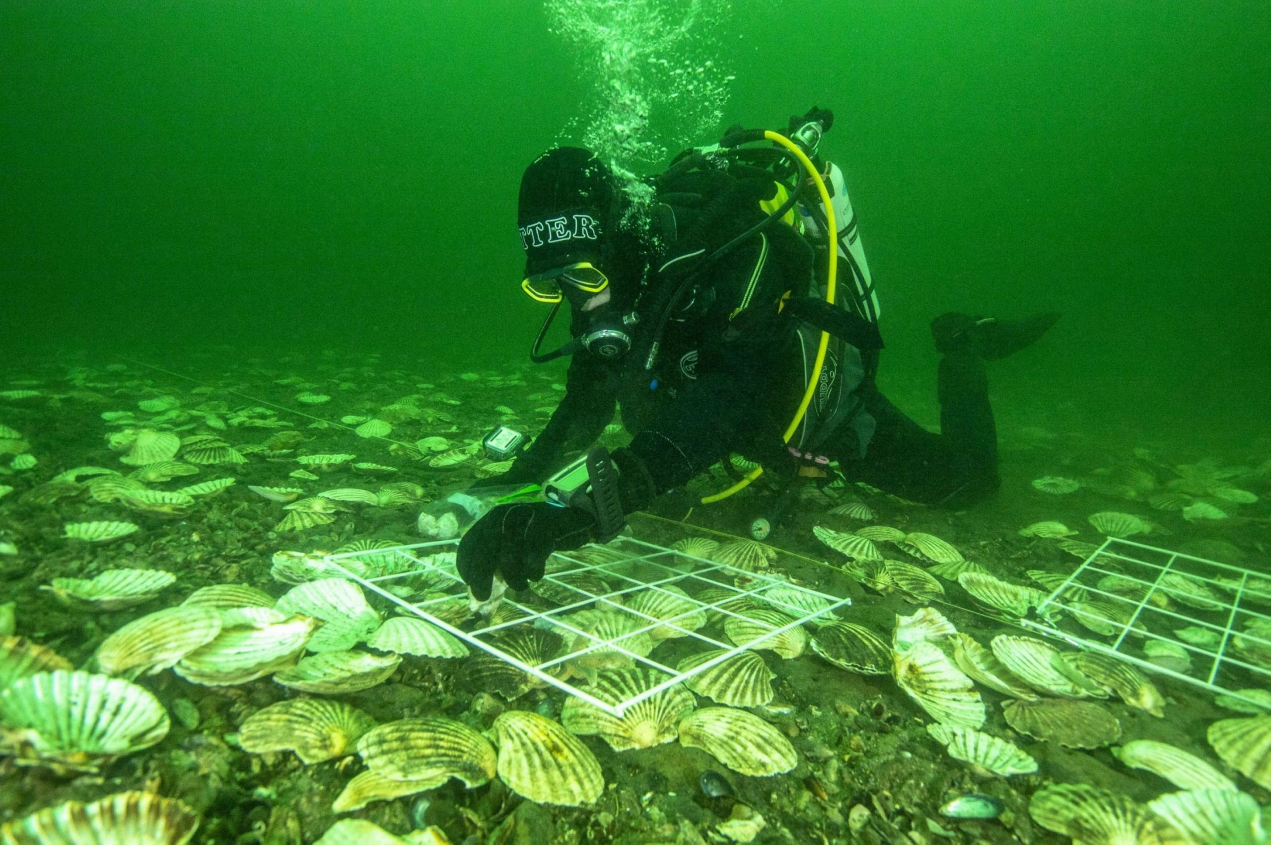 A scuba-diver inspecting oysters - Nature News Scotland