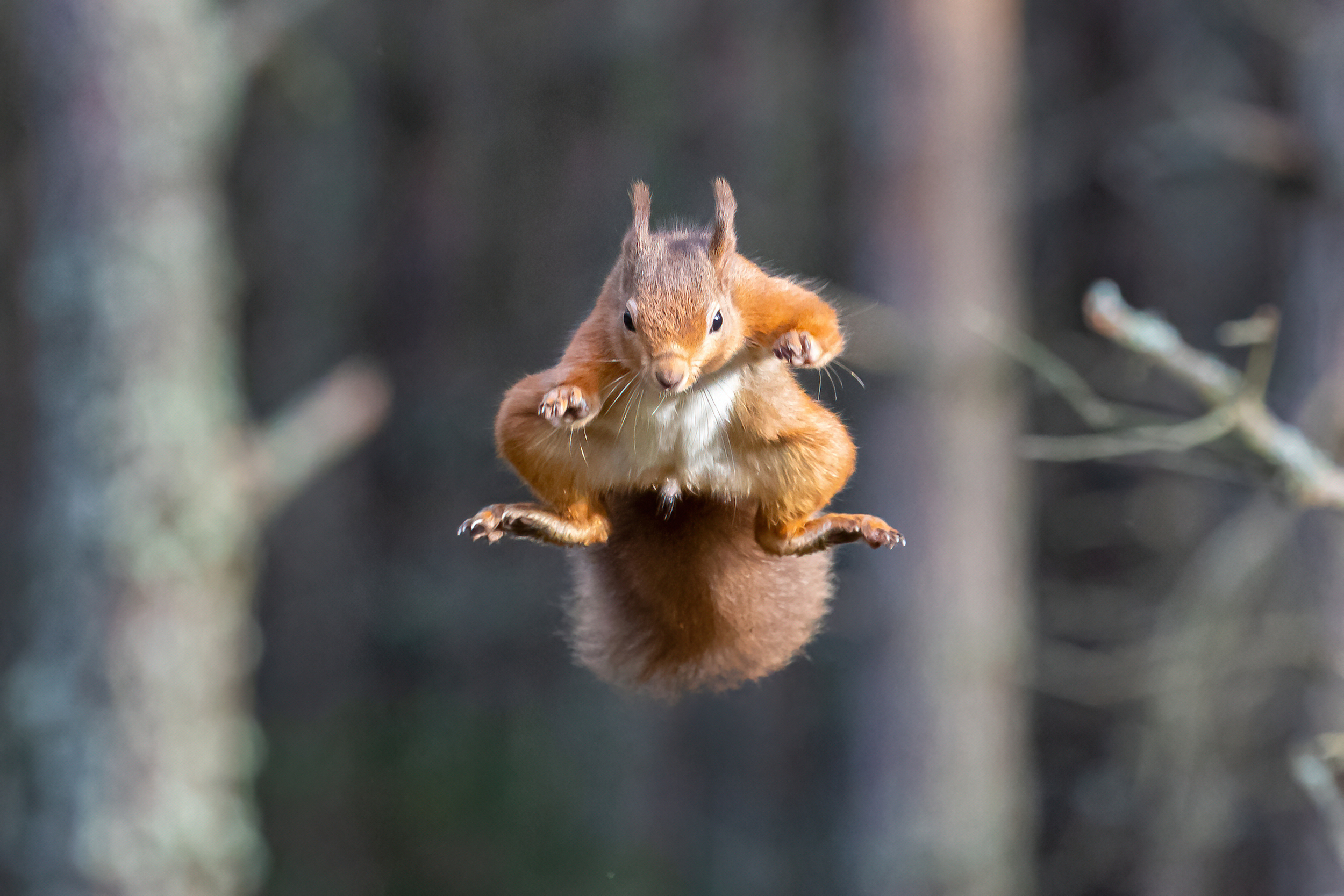 Red squirrel mid air