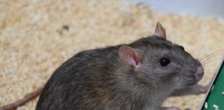 A picture of a rat - Research News Scotland