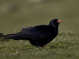 Red Billed Chough - Nature News Scotland