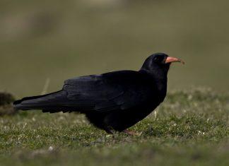 Red Billed Chough - Nature News Scotland