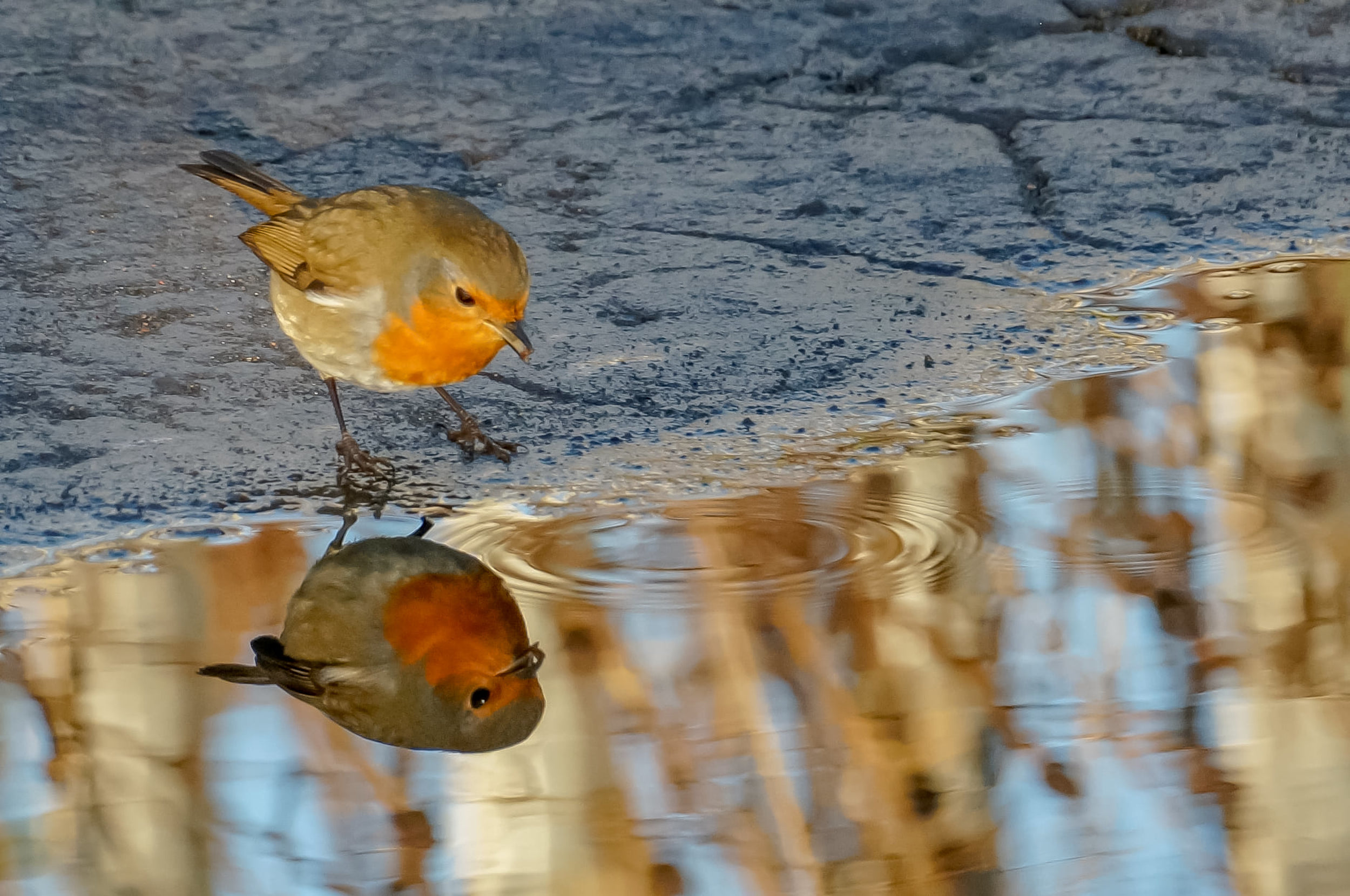 Robin in puddle