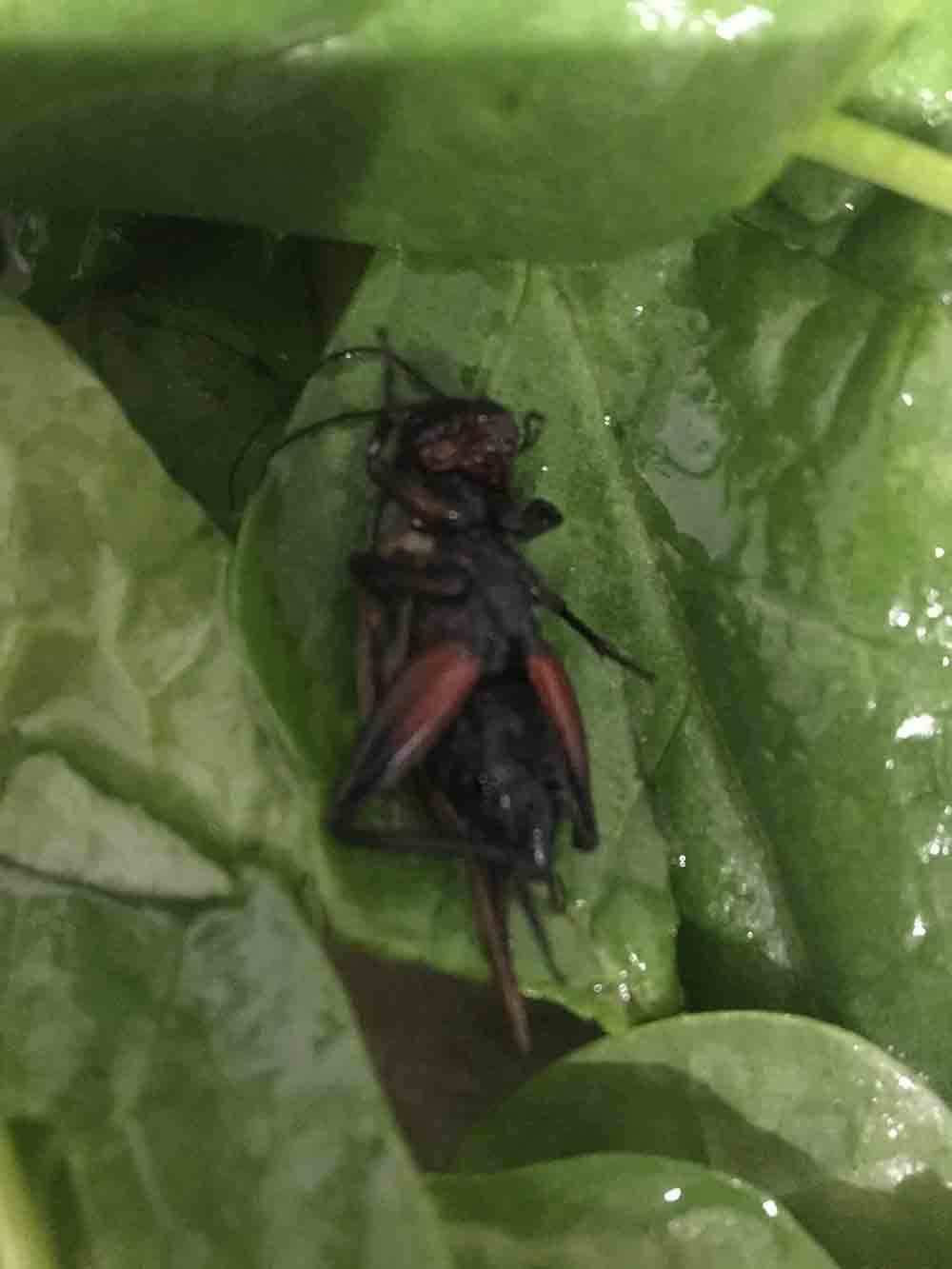 """A LIDL customer has shared revolting images showing how she allegedly discovered a dead """"cricket"""" inside her spinach. - Food and Drink News"""