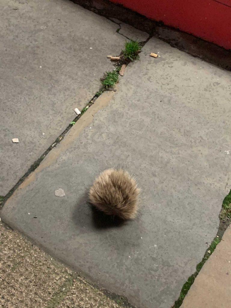 Bobblehat mistaken for Hedgehog
