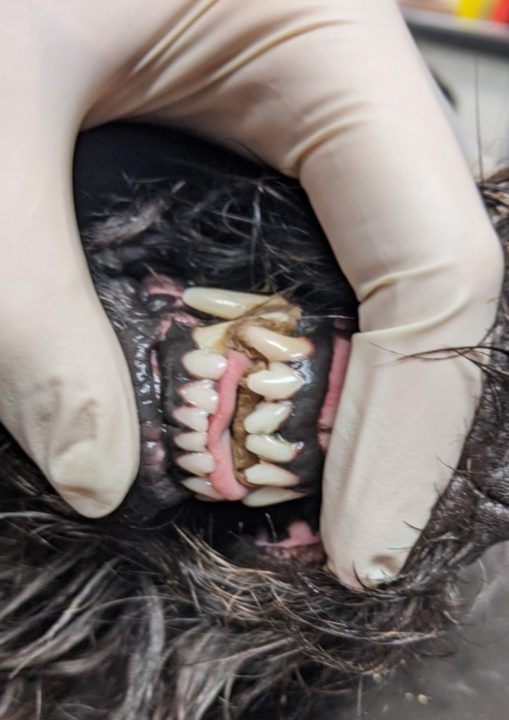 Dog's teeth stuck together after eating a parcel