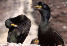 Shags ©Lorne Gill/NatureScot