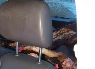 Cops pull over car and find dead pigs in boot and string operated window wiper - Crime News UK