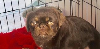Stanley the Grinch pug - Viral News