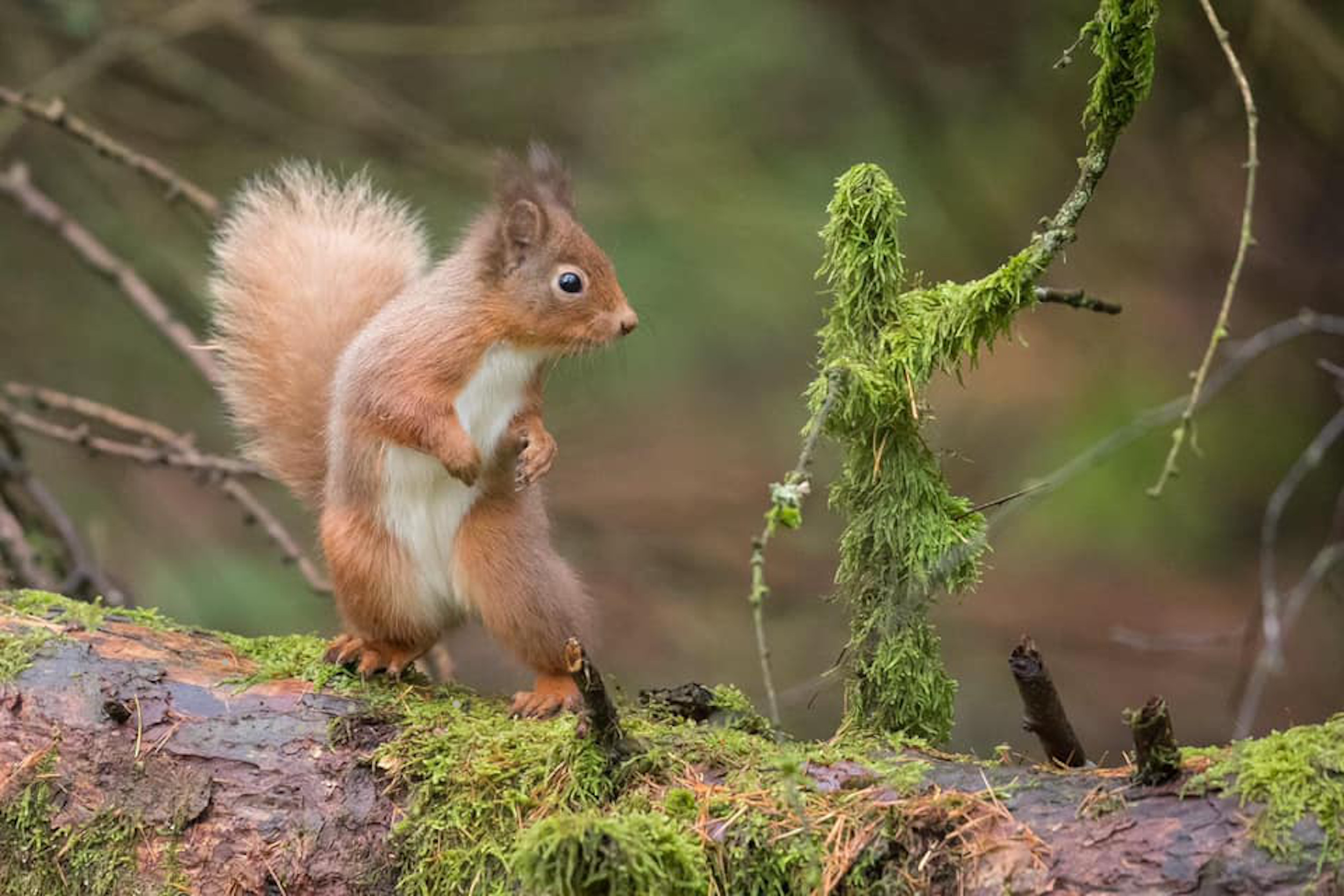 Squirrel dancing with twig - Nature