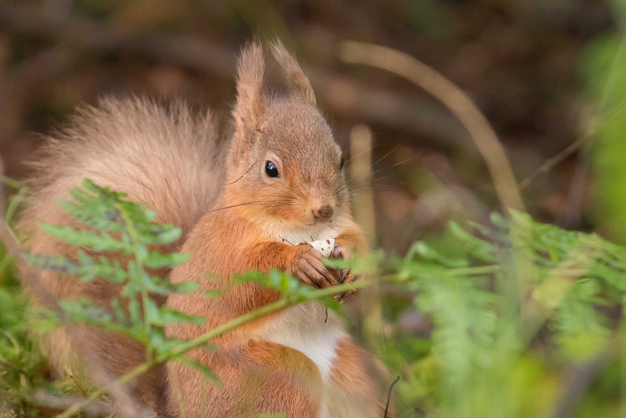 Squirrel dancing with twig - Nature News Scotland