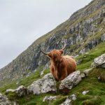 A photo of a Highland Cow - Environment News Scotland